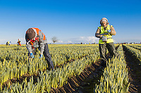 Cropping early daffodils - January, Linncolnshire