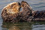 USA, California, Monterey Bay, sea otter (Enhydra lutris)