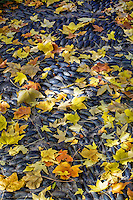 The random collection of colorful autumn leaves contrasts with the ordered, dark stones in the path to the Japanese Gardens.
