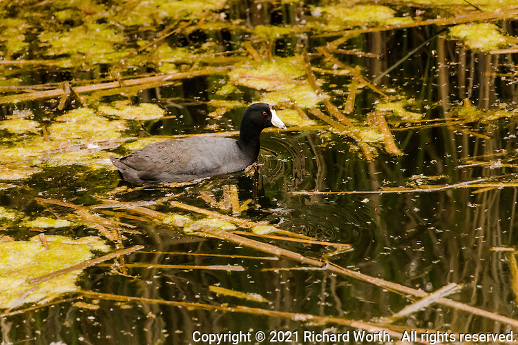 With its signature white bill and red eye an American Coot swims surrounded by reeds and moss and reflections at a neighborhood park's duck pond.