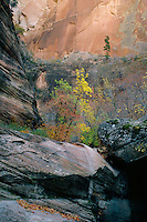 Bigtooth maples in Echo Canyon<br />