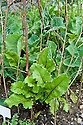 Young beetroot and caulifower plants protected against birds by hazel sticks, mid June.