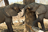 2 African elephants fighting in the South Luangwa Valley, Zambia Africa.