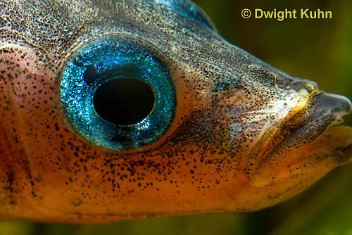 1S15-506z  Male Threespine Stickleback, Mating colors, close-up showing bright blue eyes [iris],  Gasterosteus aculeatus,  Hotel Lake British Columbia