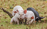 Piglets graze during Pannage in the new Forest by Yvonne Holloway