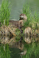 River Otter (Lontra canadensis).  Western U.S., summer.