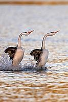 "Clark's Grebe (Aechmophorus clarkii) pair ""rushing"" or courtship dance in early morning light.  Western U.S., May."