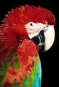 Itaparica, Bahia state, Brazil. Red and blue macaw (Ara macao).
