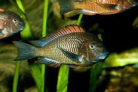 Cichlidae Tropheus moorii, rusty cichlid c)