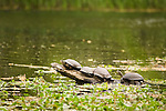 Western Pond Turtle (Actinemys marmorata) group basking on log in small river, Clear Lake State Park, California