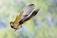 Grünfink, Grünling, Männchen, Flug, Flugbild, fliegend, Grün-Fink, Chloris chloris, Carduelis chloris, greenfinch, male, flight, Verdier d'Europe