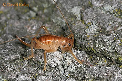 0922-06yy  Leafrolling Cricket - Camptonotus carolinensis - © David Kuhn/Dwight Kuhn Photography