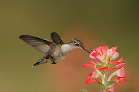 Ruby-throated Hummingbird (Archilochus colubris), female feeding on Texas Paintbrush (Castilleja indivisa), Fennessey Ranch, Refugio, Coastal Bend, Texas Coast, USA