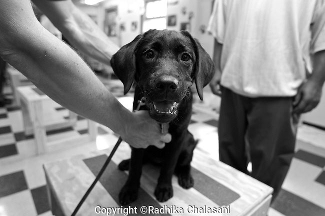 BEACON, NEW YORK:  A prisoner tries to teach one of the newest recruits to the The Puppies Behind Bars program, a 4-month-old labrador retriever, to sit on command at Fishkill Correctional Facility. The Puppies Behind Bars (PPB) Program works with prison inmates in New York, New Jersey, and Connecticut to train service dogs, including ones who help injured soldiers. Prisoners are in class one day a week and then live with the puppies and train them on their own the rest of the week.