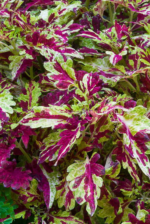 Solenostemon (Coleus) 'Muriel L. Pedley' annual colorful foliage plant with splashes of magenta red and green mottled leaves