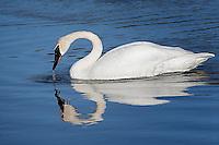 Trumpeter Swan, Hayden Valley, Yellowstone National Park, Wyoming