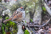 Swamp Sparrow (Melospiza georgiana georgiana) a spring migrant to Central Park, New York City, New York, foraging in The Gill.