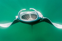 reef manta ray, Manta alfredi, feeding on plankton, French Polynesia, Pacific Ocean