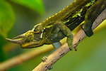 Jacksons Chameleon-Speed Blur!!