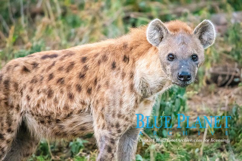 spotted hyena, or laughing hyena, Crocuta crocuta, Lake Nakuru National Park, Kenya, Africa