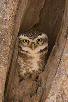 Spotted Owlet in Sasan Gir Forest, Gujarat, India