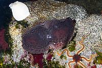 Schwarze Seegurke, Seegurken, Cucumaria frondosa, Orange-footed sea cucumber, Orange footed sea cucumber, Sea Cucumber, Sea Cucumbers, Holothuroidea