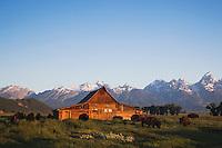 American Bison, Buffalo (Bison bison) herd in front of old wooden Barn and grand teton range, Antelope Flats, Grand Teton NP,Wyoming, USA