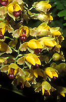 Baptistonia echinata Orchid Species, resembles a swarm of bumblebees showing orchid mimickry to attract pollinators. Floral oil is the reward for fertilization.