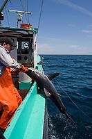 longline fishermen pull a porbeagle shark, Lamna nasus, into the boat, in a legal and managed fishery, Nova Scotia, Canada (North Atlantic Ocean)