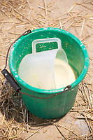 24-2-2021 A bucket of calf Colostrum  <br /> ©Tim Scrivener Photographer 07850 303986<br />      ....Covering Agriculture In The UK....
