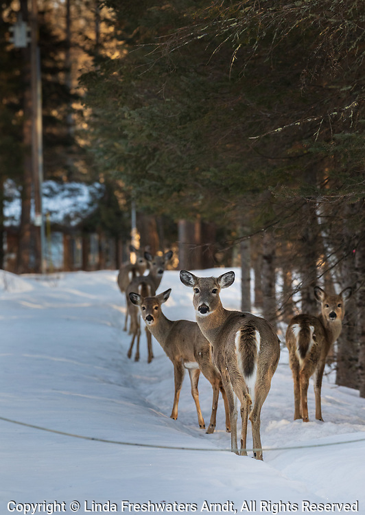 White-tailed deer walking down a snow-covered driveway in northern Wisconsin.