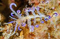 Sea slug or nudibranch, Phyllodesmium macphersonae, Lembeh Strait, North Sulawesi, Indonesia, Pacific
