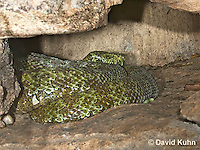 0430-1101  Mang Mountain Pit Viper (China Mangshan Pitviper), Only Non Cobra that Can Spit Venom, Zhaoermia mangshanensis (syn. Trimeresurus mangshanensis)  © David Kuhn/Dwight Kuhn Photography