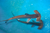 scalloped hammerhead, Sphyrna lewini, pups, being kept for research, Hawaii Institute of Marine Biology, Kaneohe, Oahu Hawaii, USA (c)