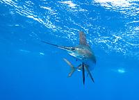 Sailfish, Istiophorus platypterus, off Isla Mujeres Mexico, Gulf of Mexico