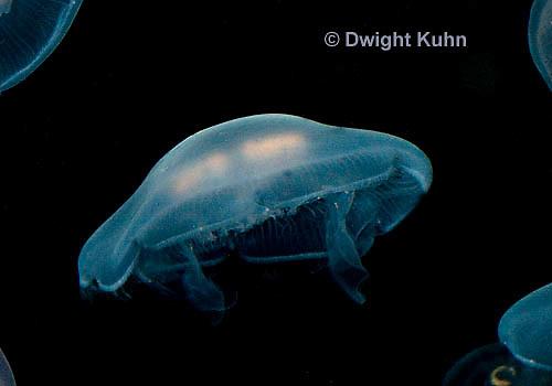 EC10-502z  Moon Jellyfish showing Bioluminescence, swimming medusa showing 4 pinkish gonads, Aurelia aurita