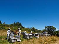 Summer inspection of an apiary in the mountains. On average, each hive is inspected every three weeks during the production of honey.<br /> Inspection d'été dans un rucher de montagne. Chaque ruche est inspectée en moyenne toute les trois semaines pendant la production de miel.