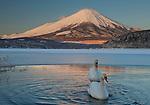 A pair of mute swans in Lake Kawaguchi disrupt the reflection of Mt. Fuji, Japan