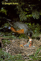 RO04-001z   American Robin - removing fecal pellet from young - Turdus migratorius