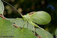 0815-0907  Common True Katydid (Northern True Katydid), Pterophylla camellifolia © David Kuhn/Dwight Kuhn Photography