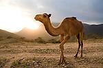 Dromedary (Camelus dromedarius) camel at sunset, Hawf Protected Area, Yemen