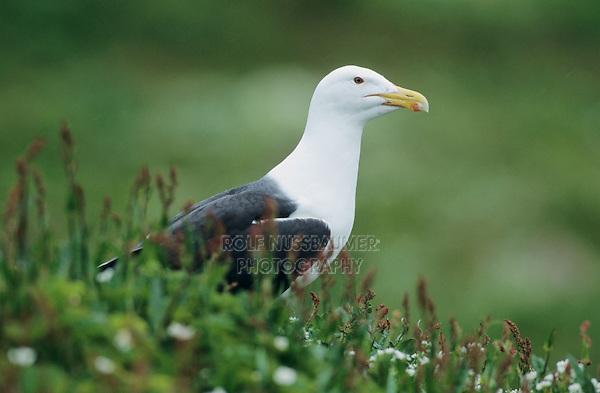 Great Black-backed Gull, Larus marinus, adult, Hornoya Nature Reserve, Vardo, Norway, June 2001