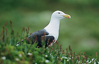 Great Black-backed Gull, Larus marinus, adult, Hornoya Nature Reserve, Vardo, Norway, June 2001