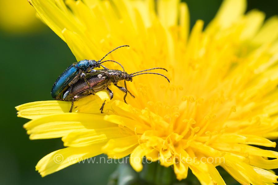 Seidiger Rohrkäfer, Paarung, Kopulation, Kopula, Rohrkäfer, Plateumaris sericea, reed beetle, reed-beetle, reed beetles