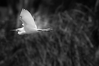 A Snowy egret in flight.  Black and white with dreamy  soft focus.