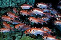 blackbar soldierfish or big-eyed squirrelfish, Myripristis jacobus, Commonwealth of Dominica (Caribbean Sea) , Atlantic