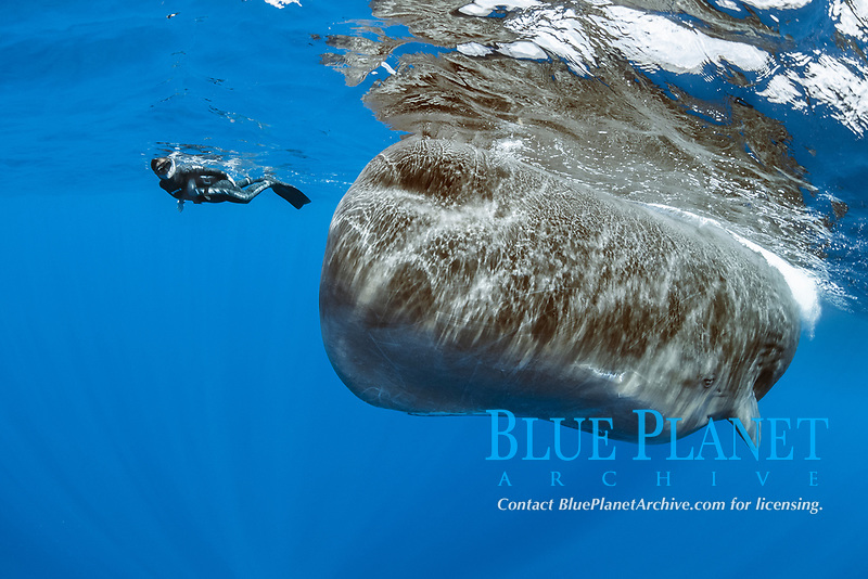 free diver swimming with female sperm whales, Physeter macrocephalus, Dominica, Caribbean Sea, Atlantic Ocean,<br /> photo taken under permit n°RP 17/01/02 FIS-4.