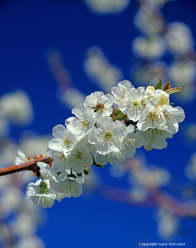 Cherry blossoms with honey bee. WA