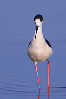 Black-winged Stilt, Himantopus himantopus, adult walking, National Park Lake Neusiedl, Burgenland, Austria, Europe