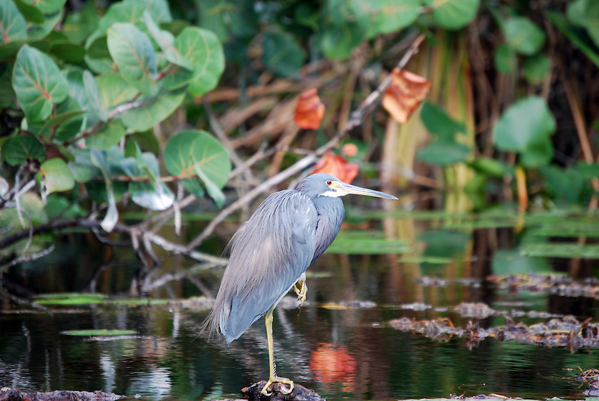 Blue Egret - Hugh Taylor-Birch state Park, Ft lauderdale, FL